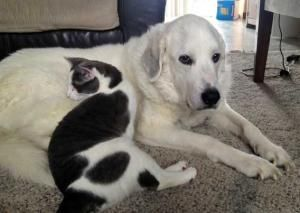 Adopt Bella In Ny Adopted On Great Pyrenees Dog Great Pyrenees Rescue Dogs