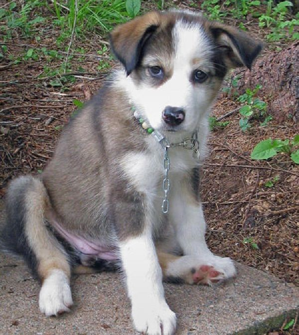 79+ Border Collie Husky Mix For Sale