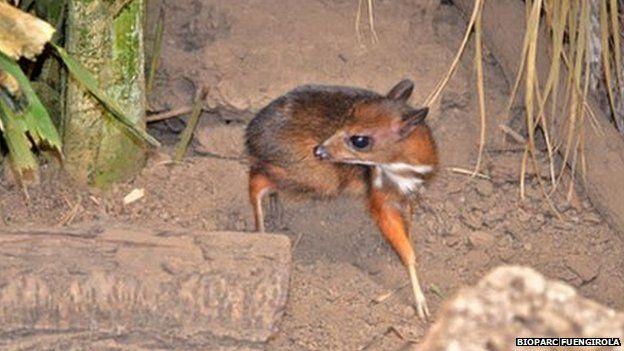 Hamstersized deer born in Spain Mouse deer, Bizarre