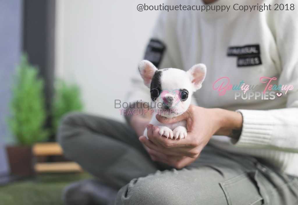 The Littlest French Bulldog You Have Ever Seen Tiny Tia 3