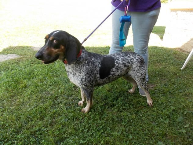 Bluetick Coonhound Dog For Adoption In Batavia Oh Adn 702351 On