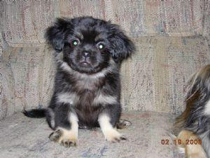 Tibetan Spaniel Puppy I Want One Tibetan Spaniel Spaniel Puppies Puppies