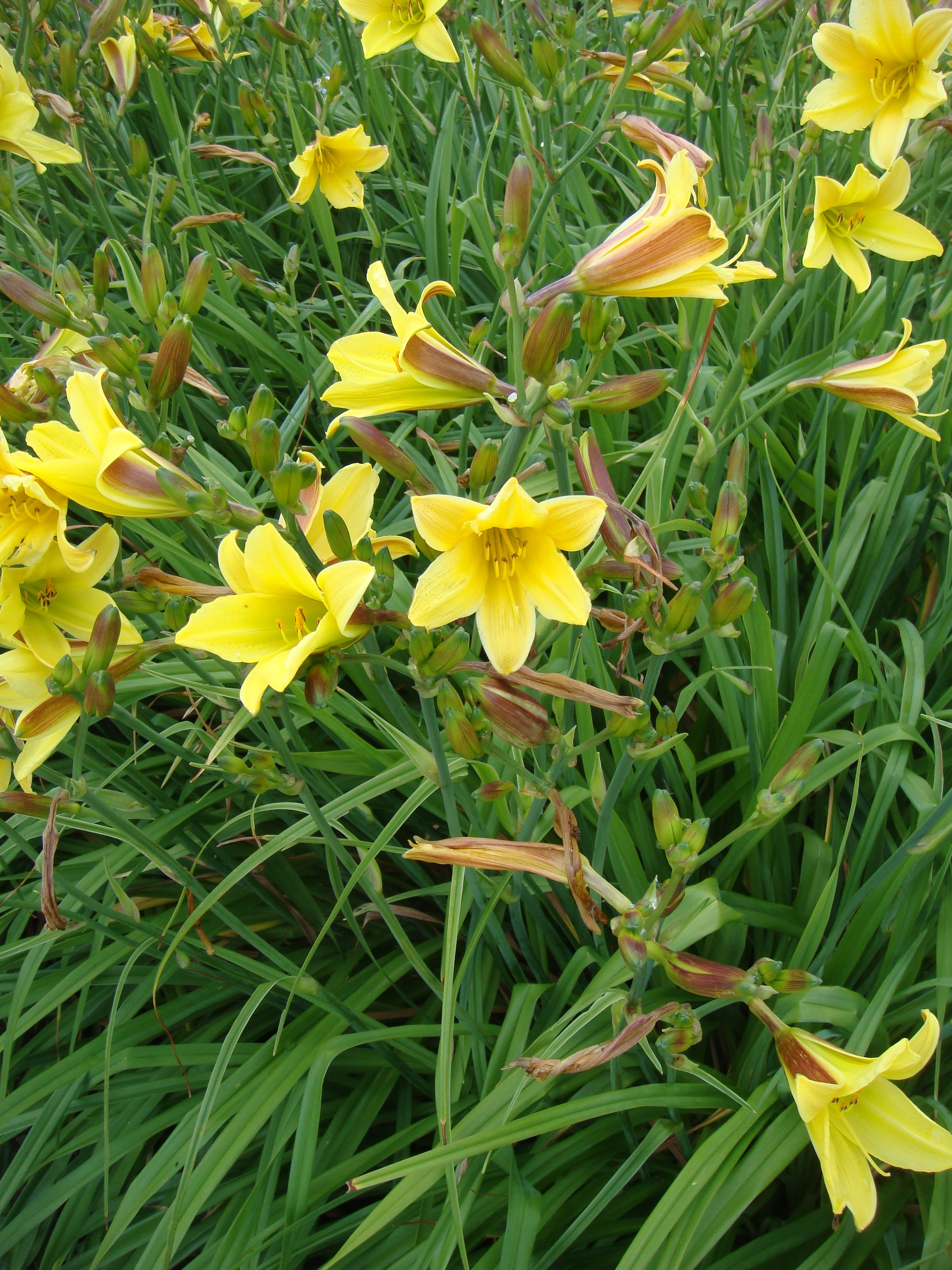 Hemerocallis Golden Chimes Sprays Of Small Yellow Flowers With