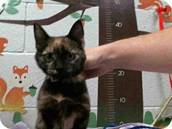 Moreno Valley, CA - Domestic Mediumhair. Meet A467342, a kitten for adoption. http://www.adoptapet.com/pet/16799198-moreno-valley-california-kitten