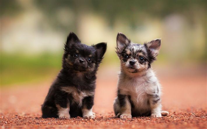 Download Wallpapers Chihuahua Puppies Dogs Small Chihuahua Cute Animals Pets Chihuahua Dog Besthqwallpapers Com Chihuahua Dogs Chihuahua Cute Animals