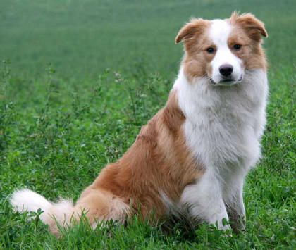 Australian Red And White Border Collie This Looks Similar To My