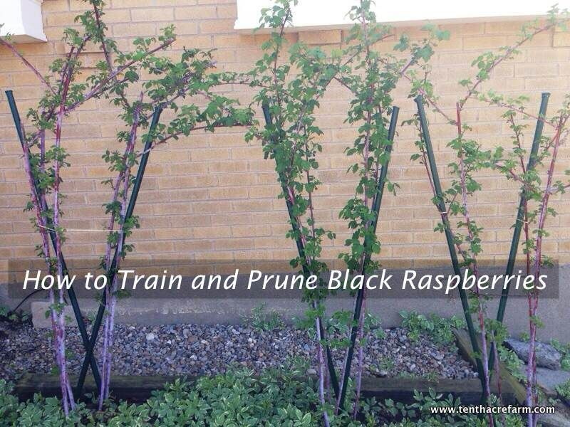 How To Train And Prune Black Raspberries Edible Garden
