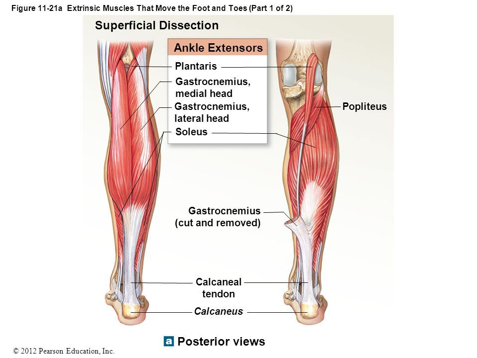 muscles that move the foot & toes | Anatomy / Physiology / Nursing ...