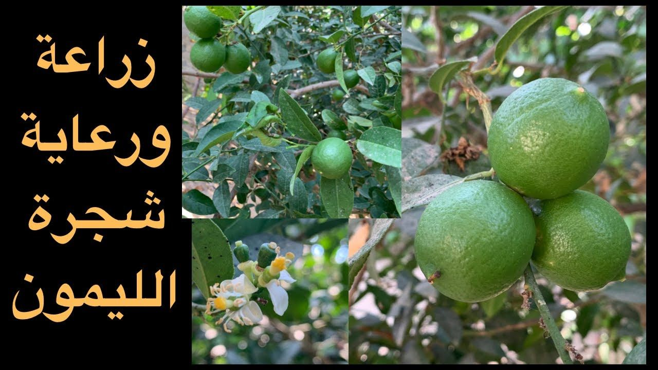 عندك شجرة ليمون لا تثمر شاهد لتعرف طريقة إكثارالثمار وكيفية الرعاية والتسميد والري Youtube Lemon Tree Tree Fruit