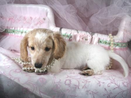 Pretty Pretty Pretty Long Haired Cream Dachshund In Pearls