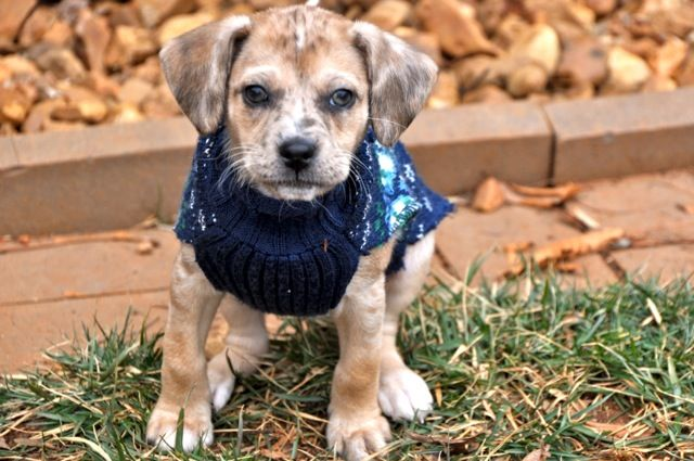 Adopt Athena On Terrier Mix Dogs Animals Adoption