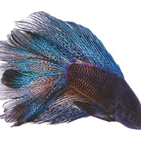 Exotic Fish 上的釘圖