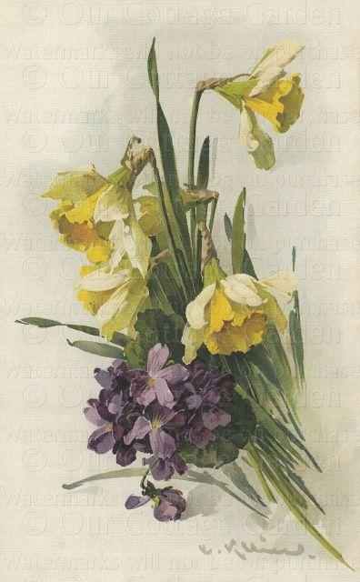 Violets & Daffodils - C. Klein