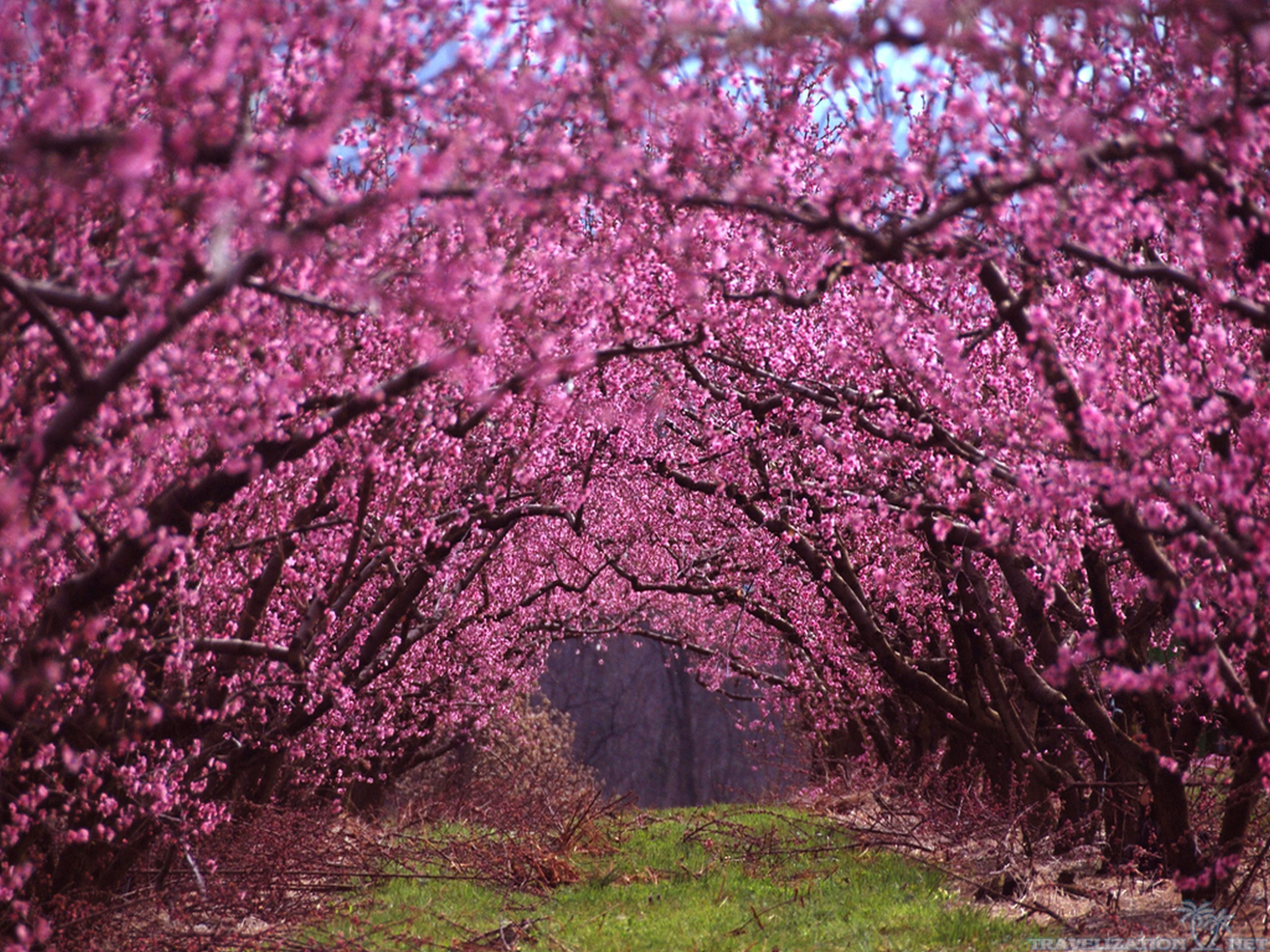 One Of The Most Beautiful Of Early Spring Blooming Ornamental Trees