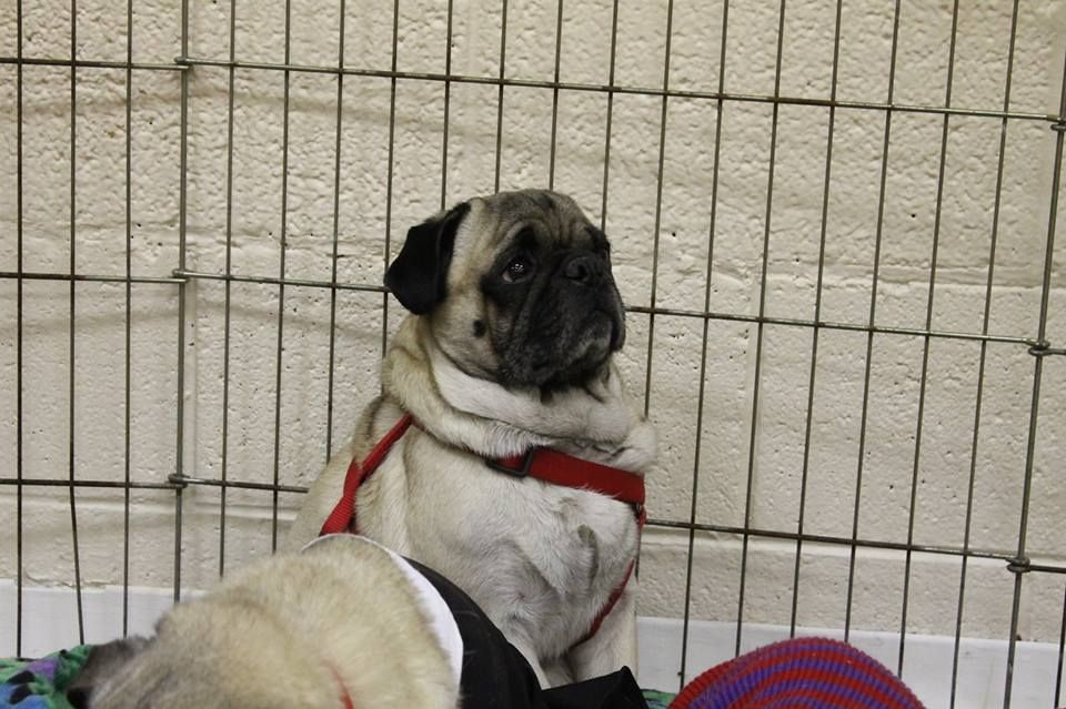 Thomas is an available pug at Pug Rescue Network in