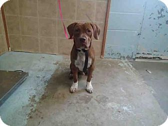 Tallahassee, FL Dogue de Bordeaux/American Bulldog Mix