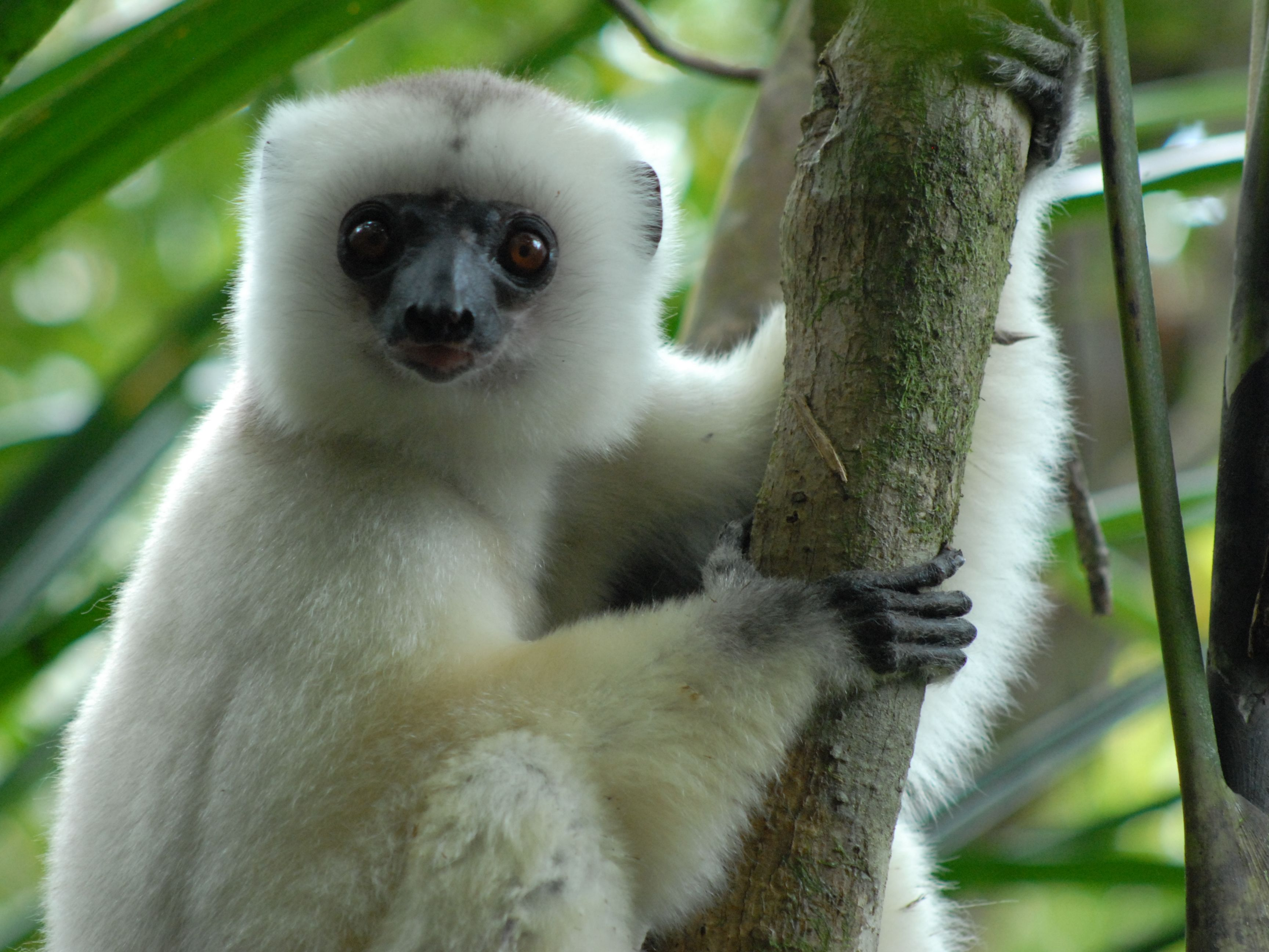 Silky Sifaka Propithecus Candidus The Silky Lemur From Northeastern Madagascar It Is Listed By The Endangered Animals Rare Animals Most Endangered Animals