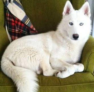 Siberian Husky Dog For Adoption In Magnolia Tx Adn 634867 On