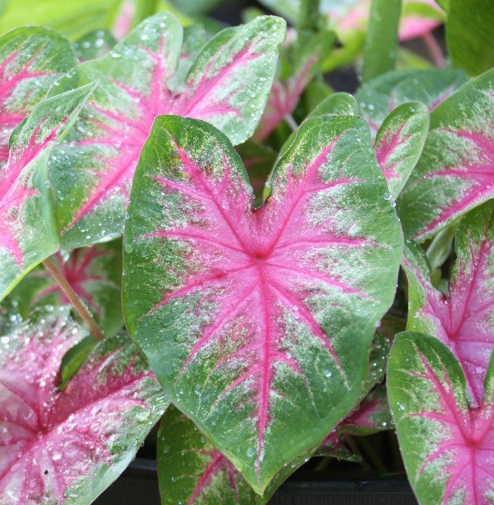 6 Tips For Growing Caladiums In Zones 5 7 Longfield Gardens Longfield Gardens Caladium Summer Bulbs