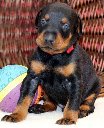 Doberman Puppies Doberman Pinscher Puppy Doberman Pinscher Dog