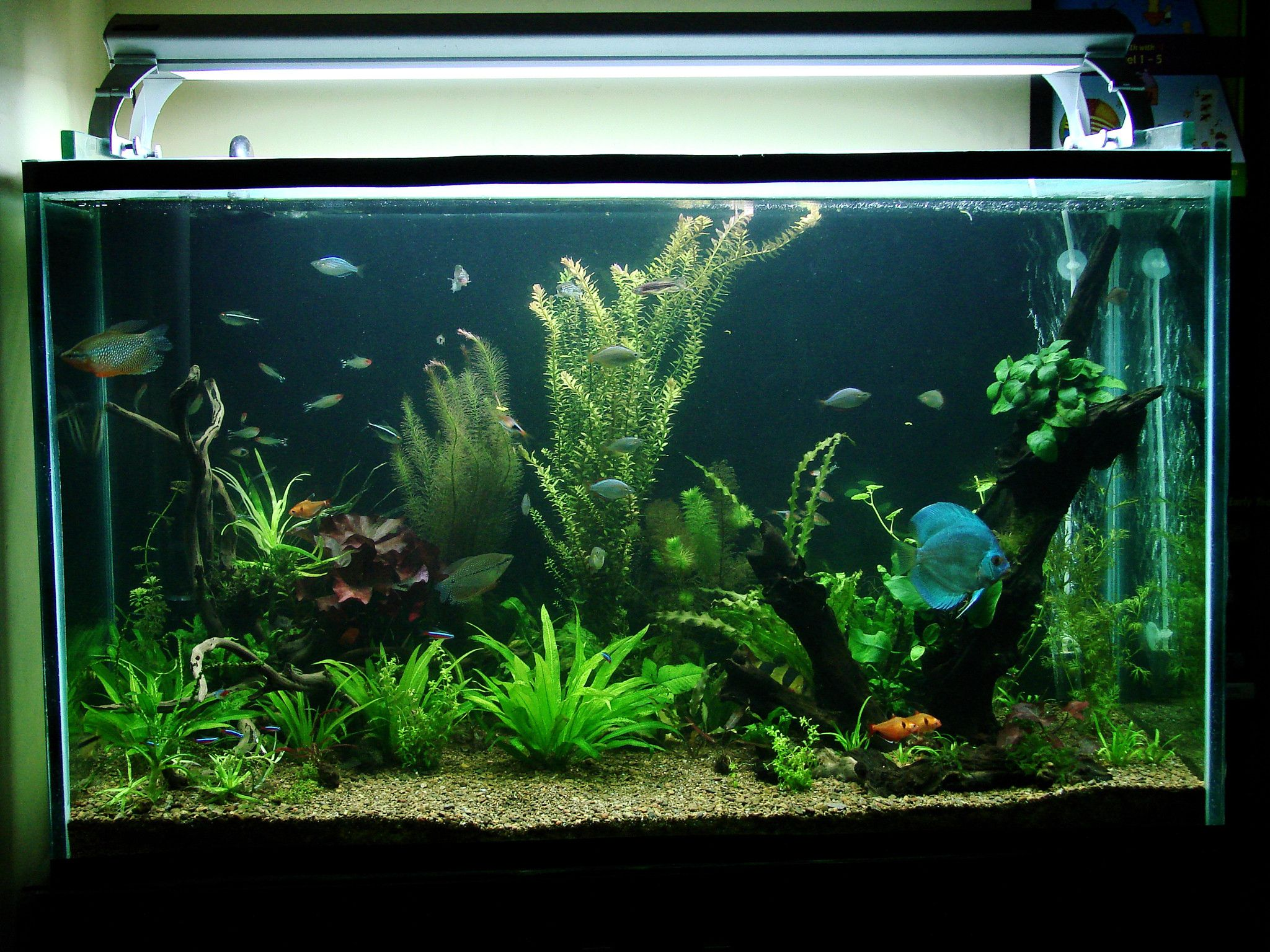 How to Choose Fish for a Freshwater Aquarium pictures