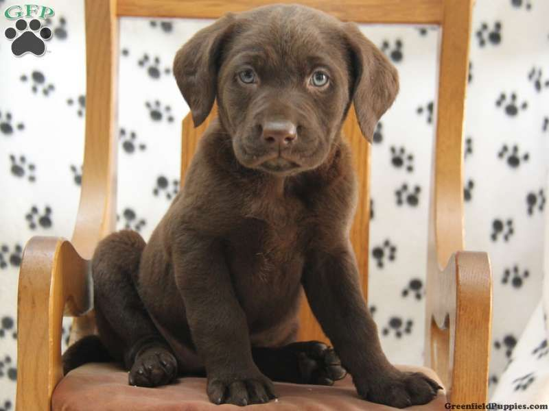 Ginger Chocolate Lab Puppy For Sale In Narvon Pa Chocolate Lab