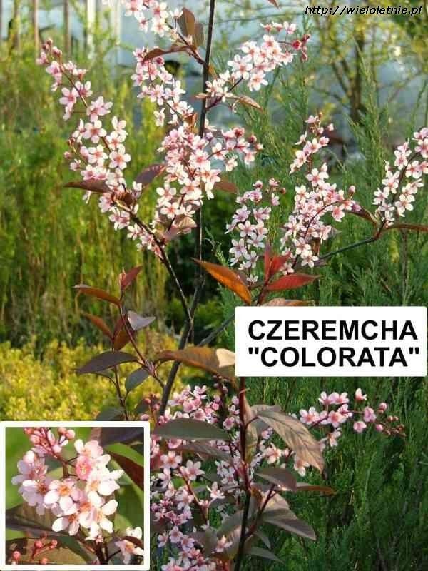 Czeremcha Colorata Plants