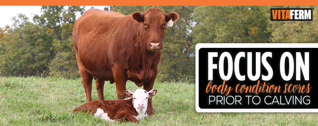Focus on Body Condition Scores Prior to Calving (With
