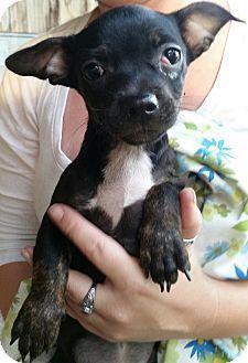 Chiefland Fl Chihuahua Pug Mix Meet Gamma A Puppy For