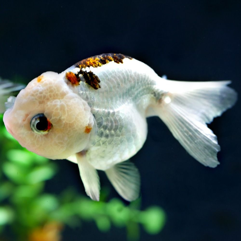 Goldfish For Sale Online All Pictures Are Taken By Windsor Fish Hatchery They Are Of The Exact Koi You Will Receive Live Ar Goldfish For Sale Pet Fish Goldfish