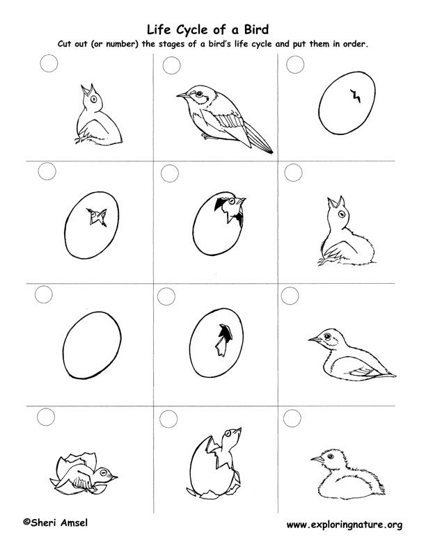 Bird Life Cycle (Eastern Bluebird) | Outdoor Worksheets/ Printables ...