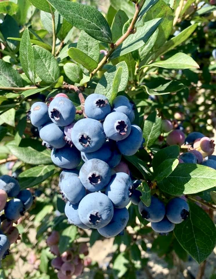 Blueberries In Nj To Pick At Dimeo