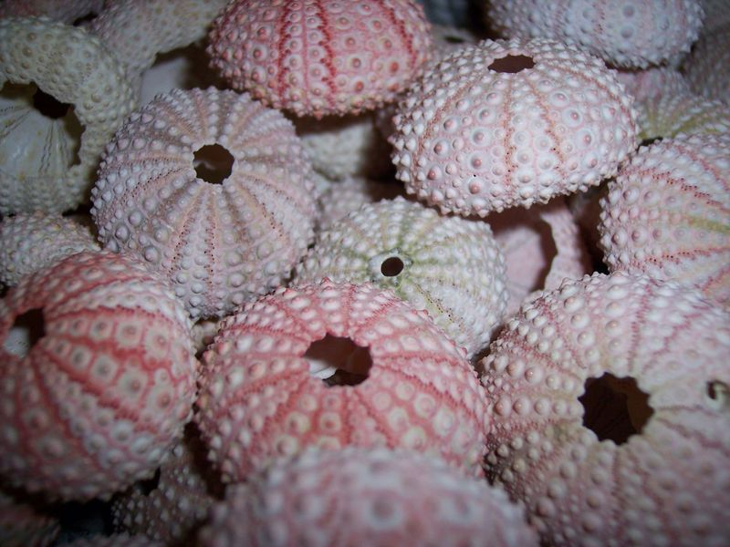 Small Pink Sea Urchins- Loose Sea Life Supplies for Coastal Decor or Arts & Crafts - product images  of