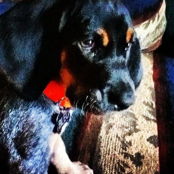 Bleu as a puppy