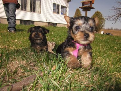 Silky Terriers Just Like Yorkies Are Born Black And Tan However