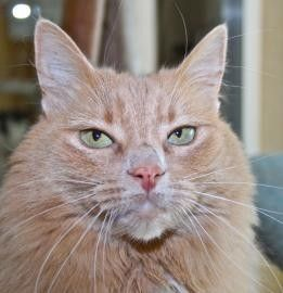 Wriggles is a beautiful cat with a semi-fluffy orange and cream coat and stunning light green eyes. She is a playful cat and loves to play ambush the noodle toy. Come visit her at our Mission campus!