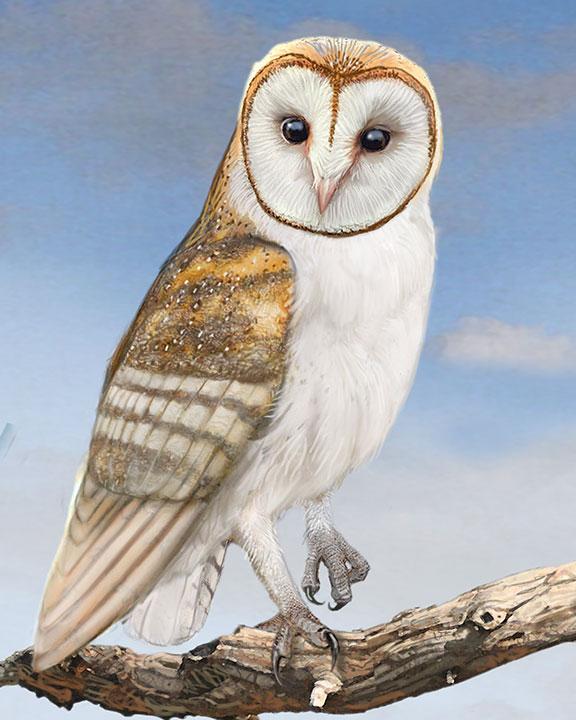 Barn Owl Owls drawing, Barn owl drawing