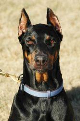 Adopt Mason On Doberman Pinscher Dog Doberman Pinscher Dogs
