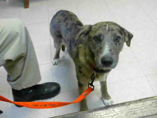 Catahoula Leopard Dog Dog For Adoption In Lufkin Tx Adn 431427