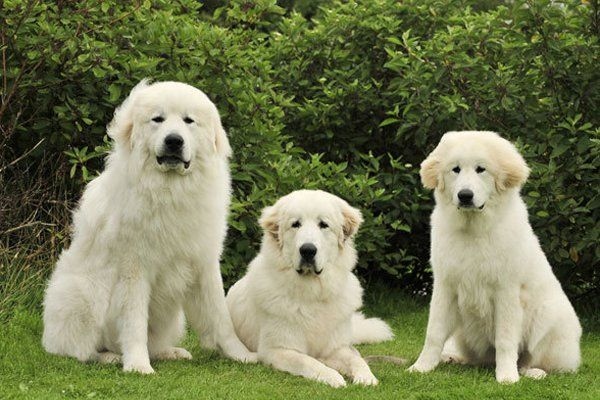 Great Pyrenees Vetstreet Com 10 Dog Breeds That Shed The Most