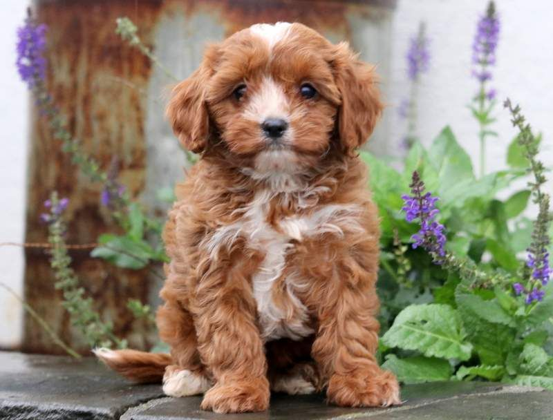 Reeses Cavapoo Puppy For Sale Keystone Puppies Cavapoo