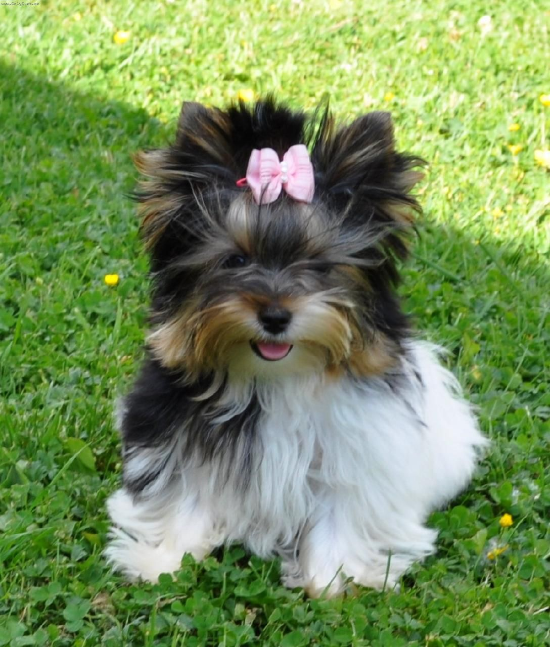Coloring pictures yorkies - Foto Biewer Yorkshire Terrier