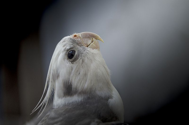 """""""At first I was afraid, I was petrified!"""" Beautiful parrot portrait of a whiteface cockatiel. He/She looks so wistful!"""