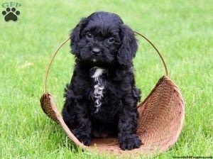 Cavapoo Puppies Black Cute Baby Animals Cavapoo Puppies Cavapoo Cavapoo Puppies For Sale