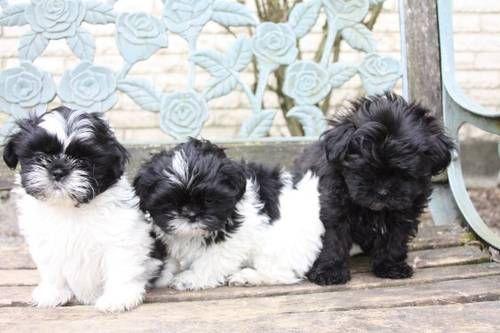 Shih Tzu Shih Tzu Puppy Shih Tzu Dog I Love Dogs