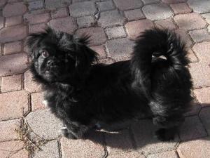 Adopt Timmy On Pekingese Flat Faced Dogs Pekingese Dogs