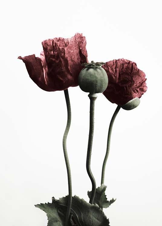 Red poppy flower julisteet ryhmss julisteet koot 50x70 cm flower mightylinksfo