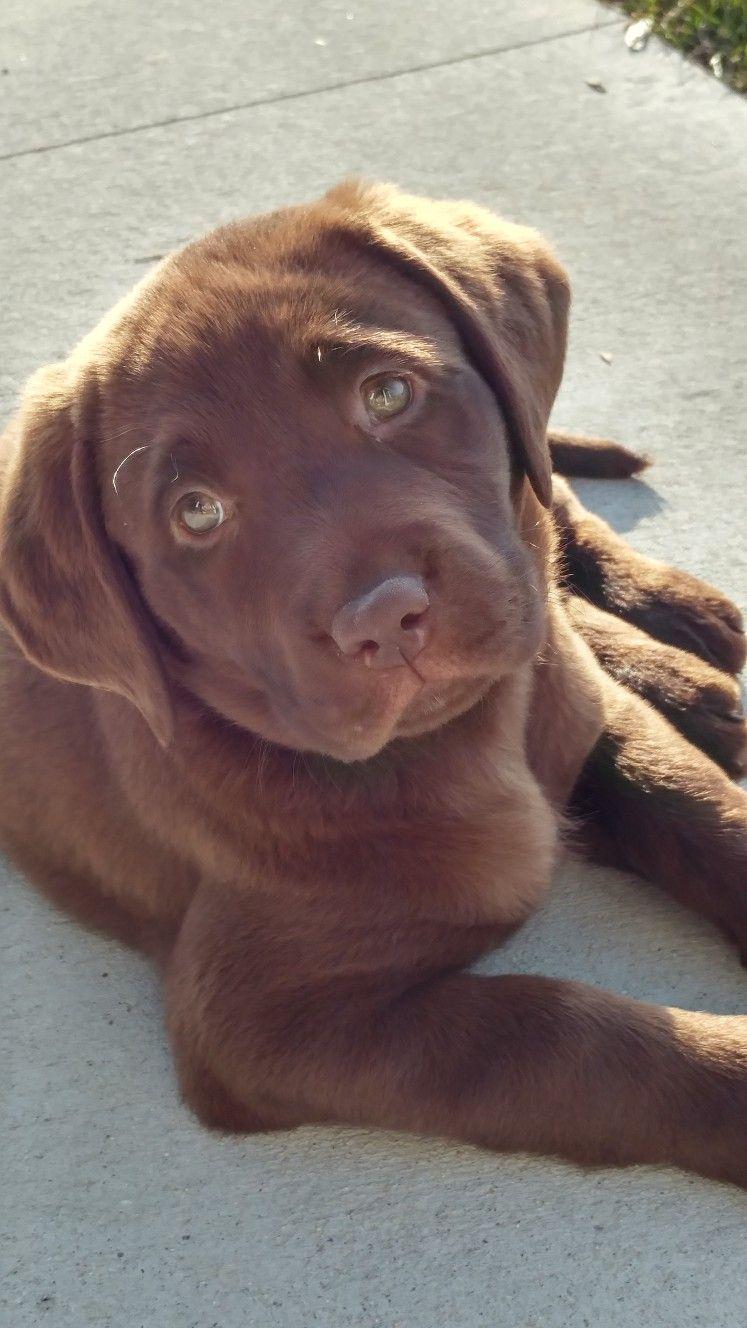 Chocolate Lab 8 Weeks Old Labrador Puppy Labrador Retriever Dogs And Puppies