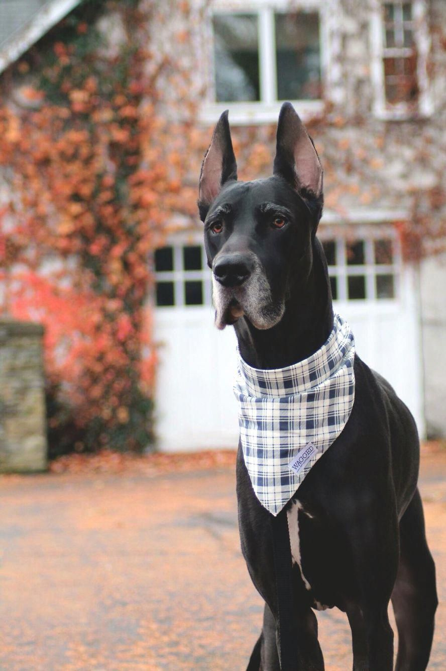 Great Dane Patient and Friendly (With images) Great