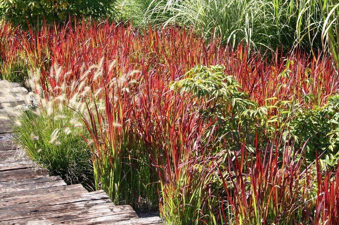 Gardening 101 Japanese Bloodgrass Outdoor Plants Gardening 101 Ornamental Grasses